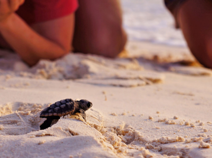 """Turtle Nesting and Release Sighting"""" Tour"""